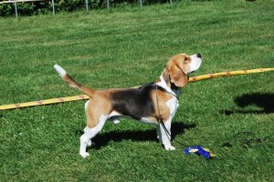 Skansehoj Darwin Little Herbie No 1 Showbeagle Sweden 2012