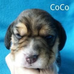 CoCo 2 weeks