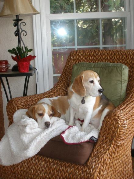 Herbie shares the best seat in the house with guest beagle, Cora, CH. Beowulf Talbot Hill Grace Note