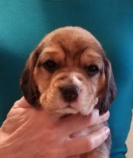 Dexter at 4 weeks