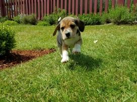 Dexter at Five Weeks