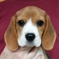 """Talbot Hill Dukeang Thyme Travel, """"Claire"""" - 8 weeks"""